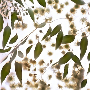 White Gum Flowers 1
