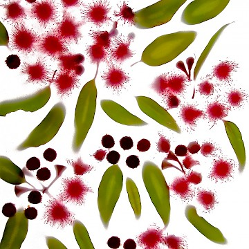 Red Flowering Gums 6