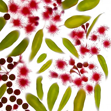 Red Flowering Gum 4