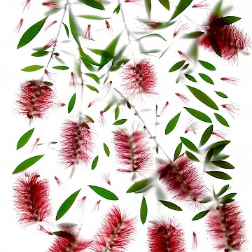 Bottlebrush A