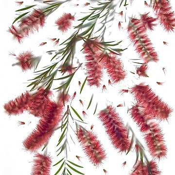 Callistemon/Bottlebrush 1