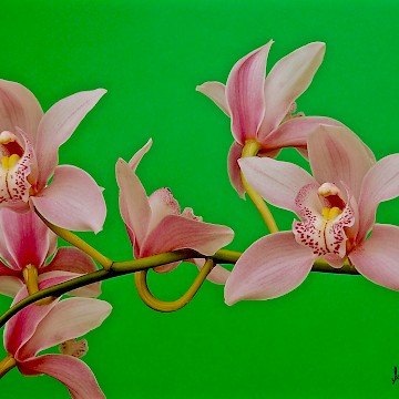 Pink Cymbidium on Green
