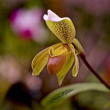 Slipper Orchid 1