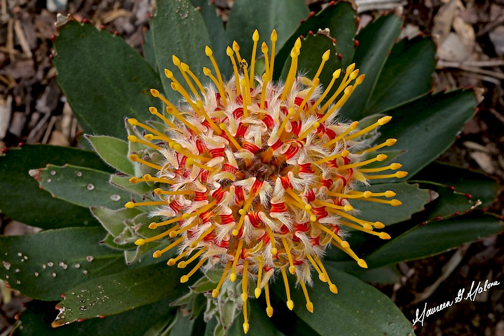 Gold Fever Protea