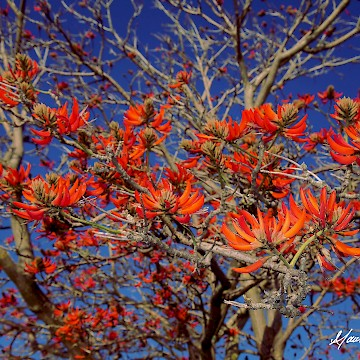 Coral Tree 2