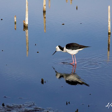 Poised Stilt