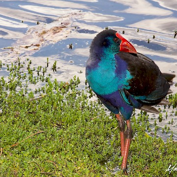Swamphen Beauty