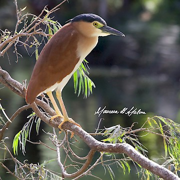 Nankeen Night Heron 1