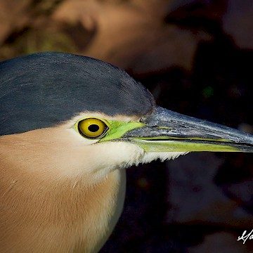 Nankeen Night Heron 2