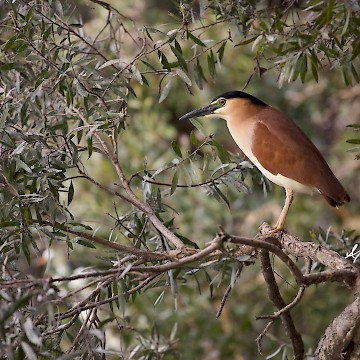 Nankeen Night Heron 3