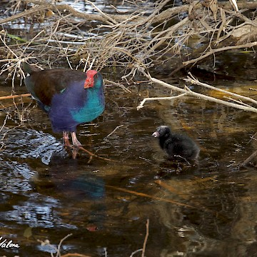 Swamphen and Chick