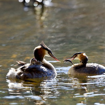 Great Crested Grebe Chicks Food Delivery