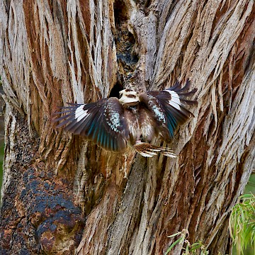 Kookaburra Arriving at Nest