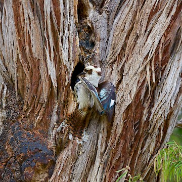 Kookaburra Feeding at Hollow